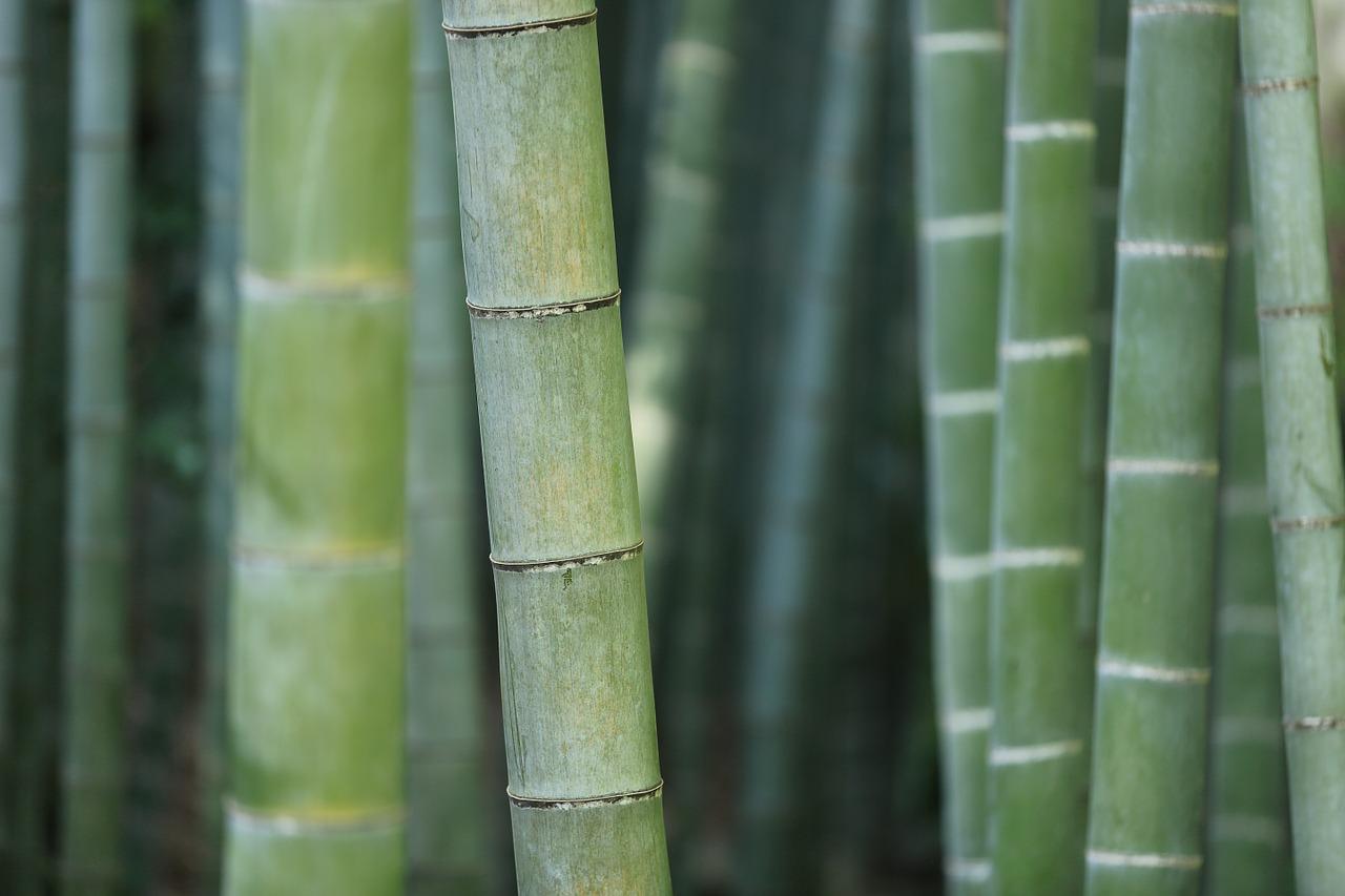 Srečni bambus je primeren za vaš dom